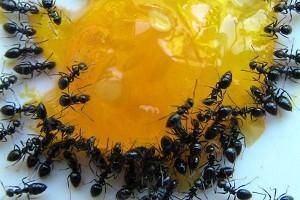 Как-бороться-с-домашними-муравьями-300x200