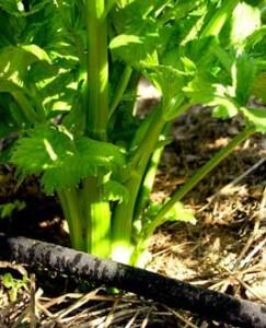 celery-drip-hose