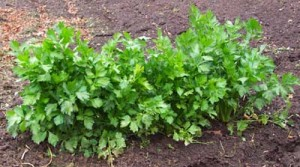 celery01
