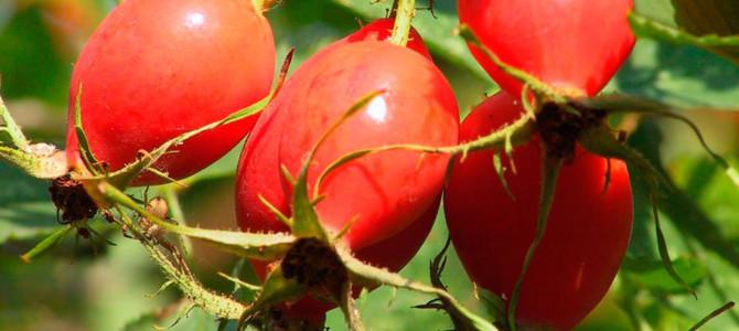 Шиповник – витаминная бомба для организма