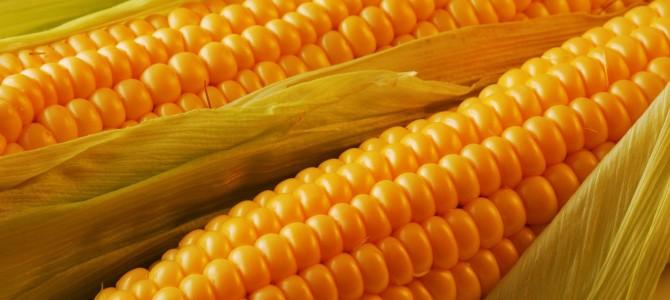 Кукуруза, все о выращивании на даче. Мой личный опыт!