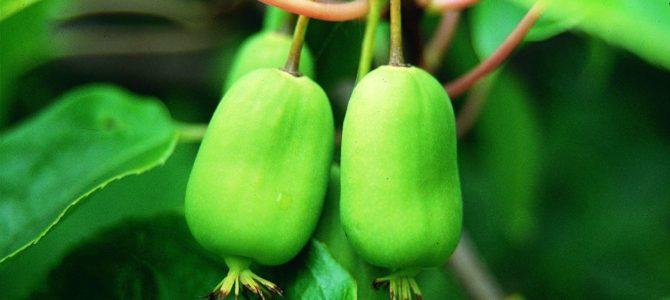 Киви или актинидия: сорта, посадка и уход
