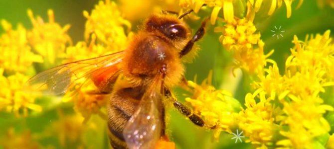 Цветочная пыльца – подарок природы