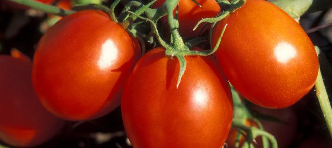 Подкормки для помидор – как получить сумасшедший урожай?