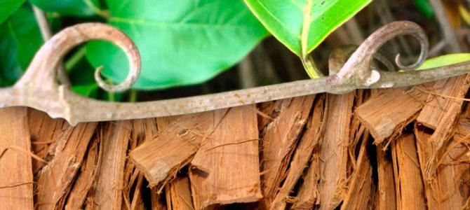 Кошачий коготь удивительные свойства растения